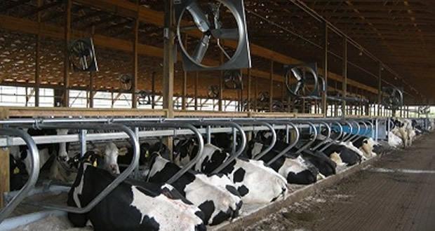 O estresse por calor dias antes da cobertura afeta a taxa de concepção de vacas leiteiras?