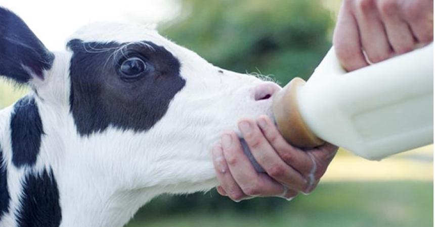 Manual de boas práticas de manejo para bezerros leiteiros