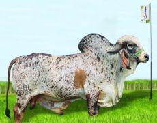 COWBOY FIV
