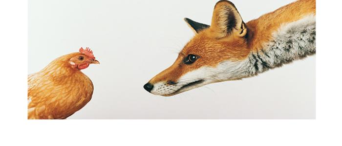 Sobre galinhas e raposas