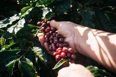 000001---colheita-cafe-manual.jpg