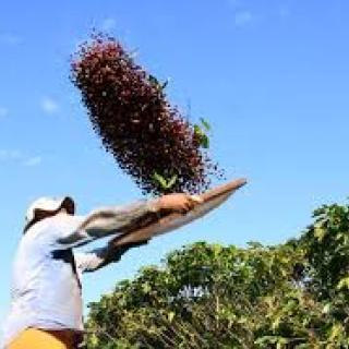 agricultor-peneirando-cafe.jpg