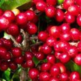 cafe-maduro-vermelho.jpg