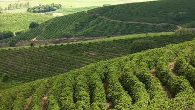 cafe-plantacao.jpg