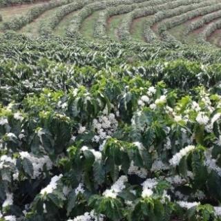 cafe-robusta---florada.jpg