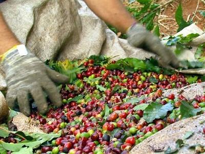 cafeproducao02.jpg