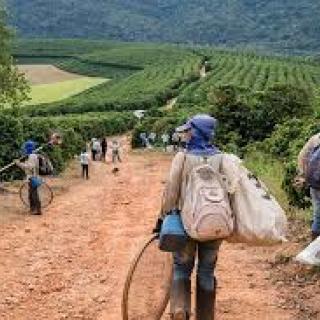 mulheres-na-colheita.jpg