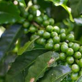 pe-de-cafe-verde.jpg