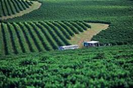 plantacao-cafe-sul-minas.jpg
