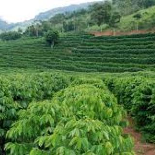 plantacao-cafe.jpg