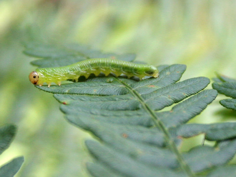 lagarta