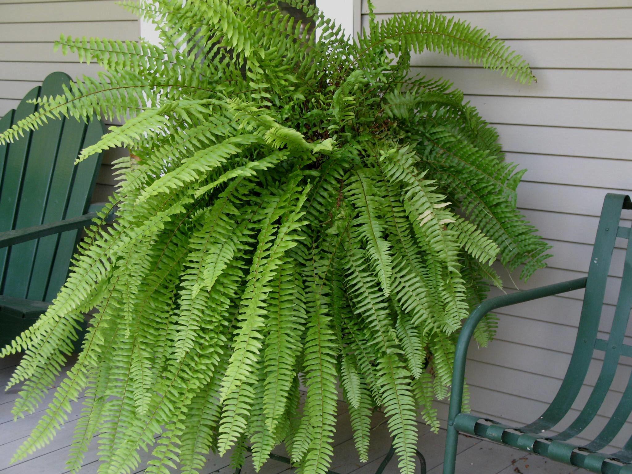 Cultivo de samambaias saiba como ter mais verde em sua casa for Plantas ornamentales helechos