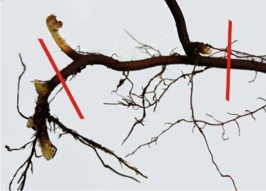 corte rizoma