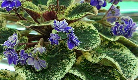 violeta7