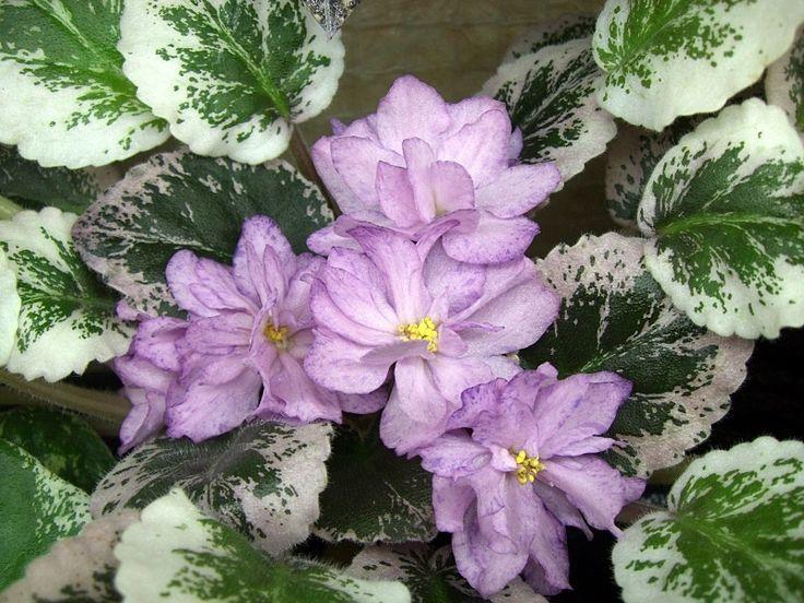 violeta8