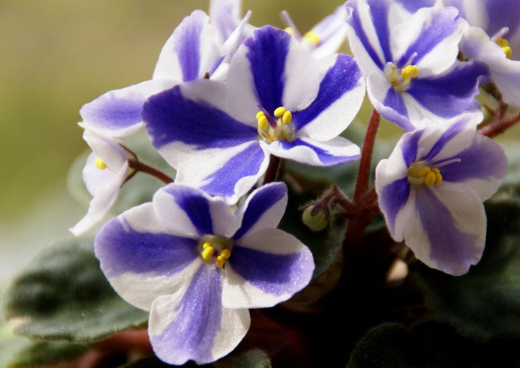 violeta 0