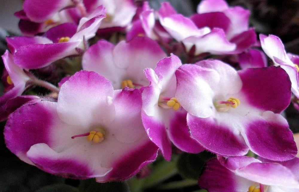 Aprenda em 6 passos a ter sucesso no cultivo de violetas for Violetta africana