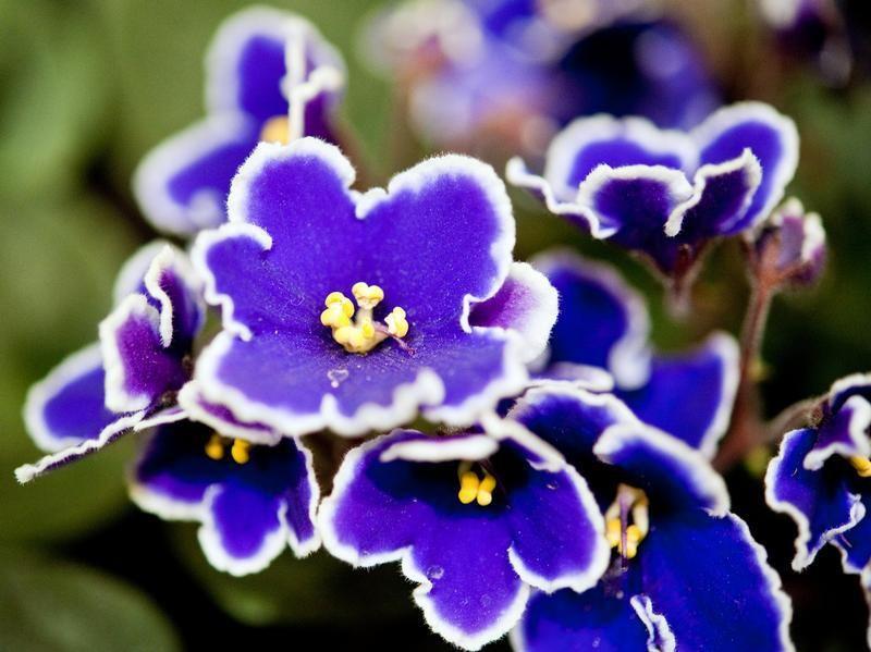 violeta 3