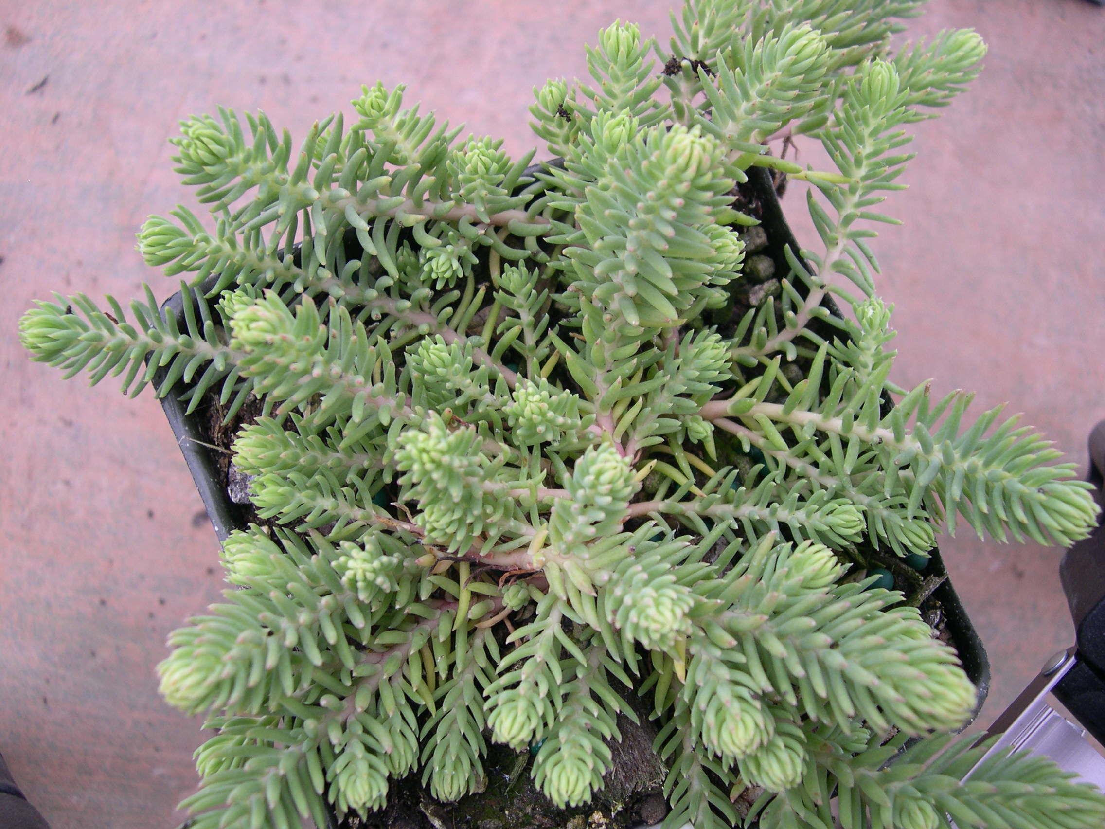 sedum ochroleucum