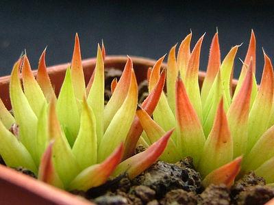 Haworthia monticola