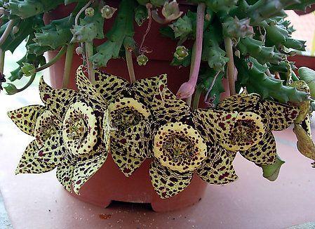 Orbia variegata
