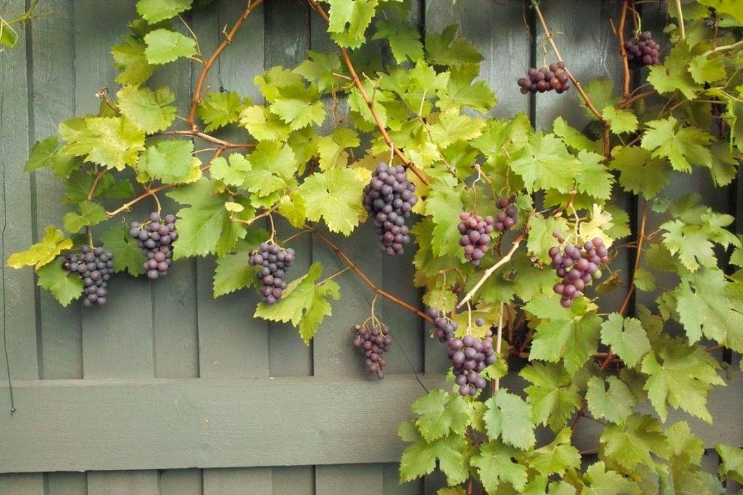 adubação uva