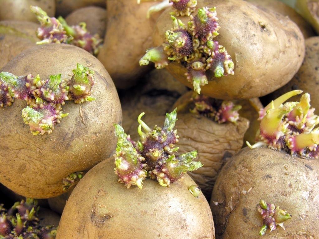 batata semente1