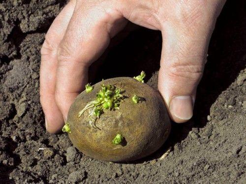 plantio batatas