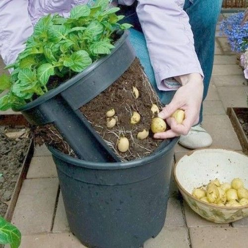 aprenda em 07 passos a cultivar batatinhas em vasos. Black Bedroom Furniture Sets. Home Design Ideas