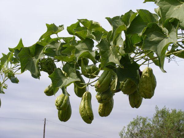 Aprenda A Cultivar Chuchu Em Casa