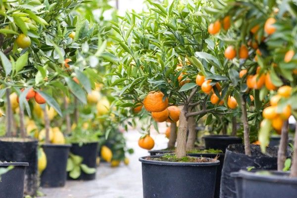 frutas vaso