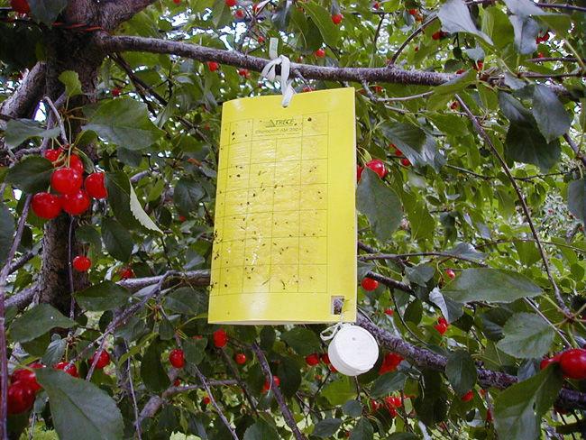 armadilha frutas