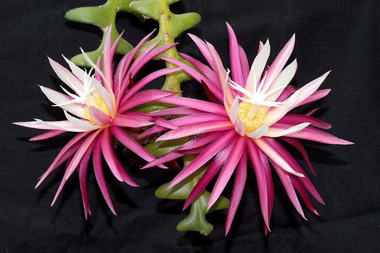 sianinha flor