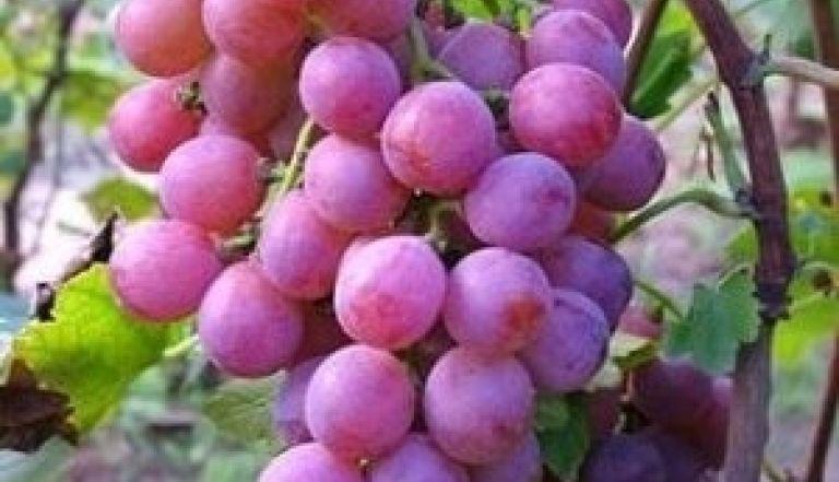 Aprenda em 04 passos a podar seu pé de uva e ter belos cachos