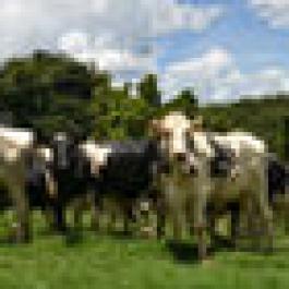 A importância da idade ao primeiro parto para o sistema de produção de leite