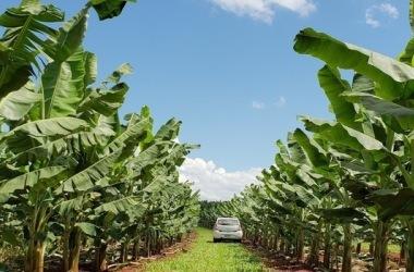 Delfinópolis é, hoje, o segundo maior produtor de banana de Minas Gerais / Arquivo/Emater-MG