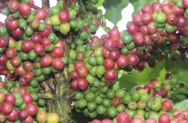 Minas Gerais tem cerca de 150 mil cafeicultores, a maioria deles agricultores familiares / Divulgação/Seapa