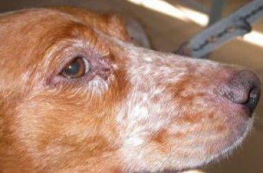 Um dos sintomas da Leishmaniose Canina é a descamação ao redor dos olhos, boca e focinho. A doença pode ser evitada e tem tratamento. Foto: reprodução/internet