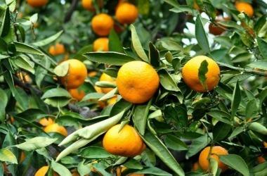 Estado é o segundo na produção nacional de tangerina e laranja /Arquivo/Emater-MG