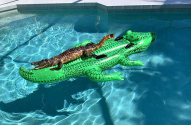 Família encontra jacaré tomando sol em boia de jacaré dentro de piscina de casa em Miami
