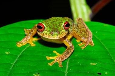FOTO:Jonathan E. Kolby/Honduras Amphibian Rescue & Conservation Center