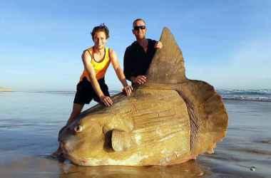Peixe-lua morre encalhado em praia na Austrália